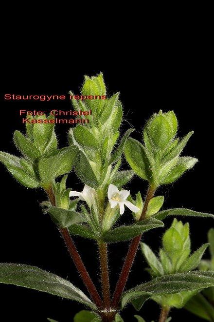 Staurogyne-repens-neu