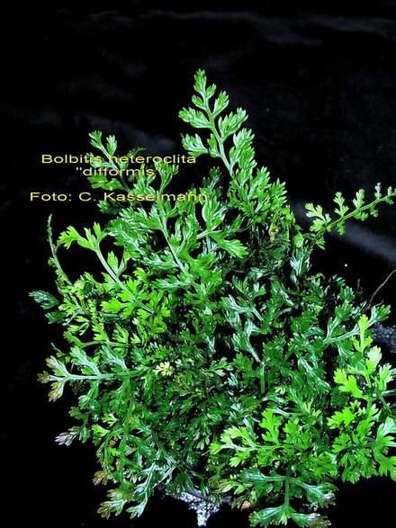 bolbitis-heteroclita-difformis