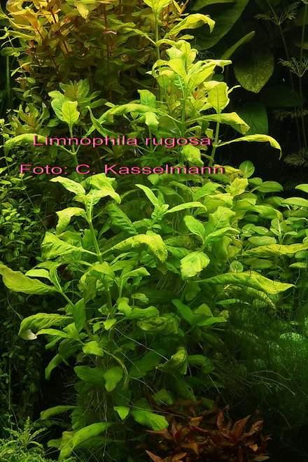 limnophila-rugosa